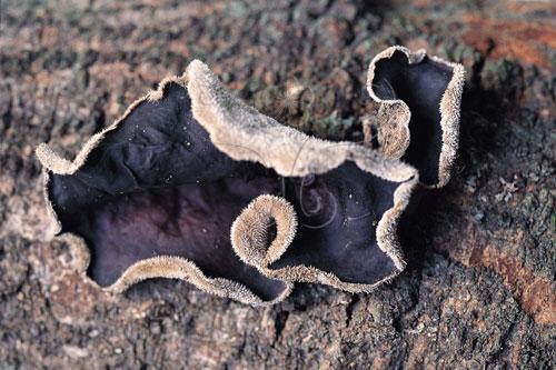毛木耳是台灣野外最常發現的木耳類