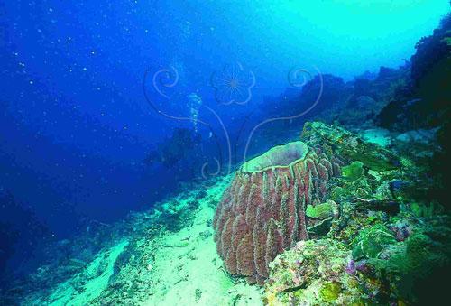 珊瑚礁海域是貧營養鹽海域的重要原因之一是生物種類和數量多,營養鹽循環的速度很快,無法滯留在水中。圖中有一大型桶狀海綿。