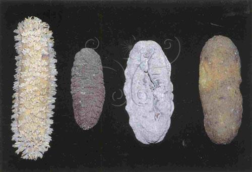 食用海參的乾標本