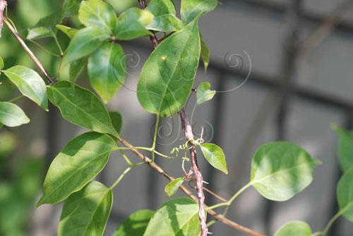 具刺或捲鬚的攀緣植物