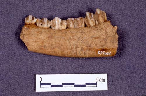 鹿右下顎骨帶P2-M2