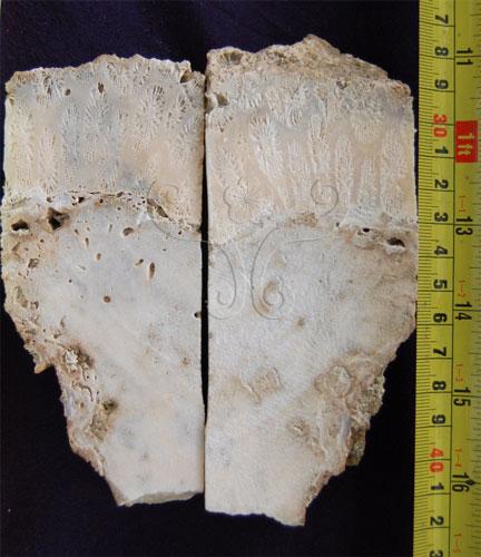 圖中岩芯標本上方的角菊珊瑚年代是6千5百多年前,下方的微孔珊瑚化石是大約1萬2千8百多年前。這怎麼解釋呢?