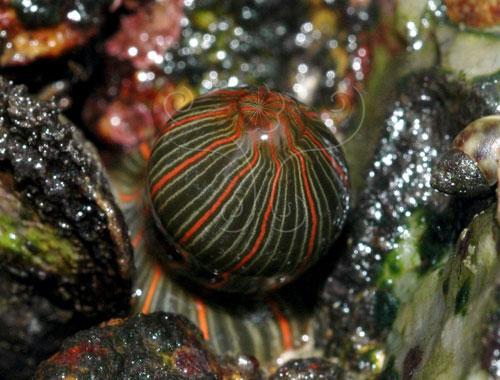 縱條磯海葵