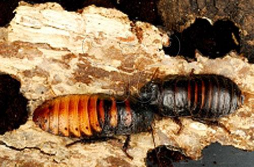 馬達加斯加蟑螂會以噴氣方式發音