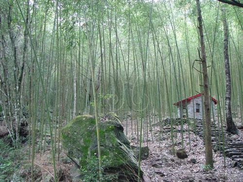 容易滋生小黑蚊的竹林