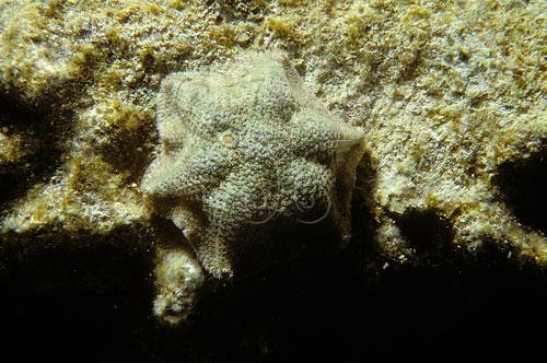 黑夜下外出的擬淺盤小海星