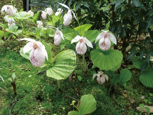 臺灣喜普鞋蘭Cypripedium formosanum,原生中央山脈於高海拔地區(海拔2000公尺以上)。此圖為臺大梅峰農場所栽培的臺灣喜普鞋蘭,在4月花朵盛開時。