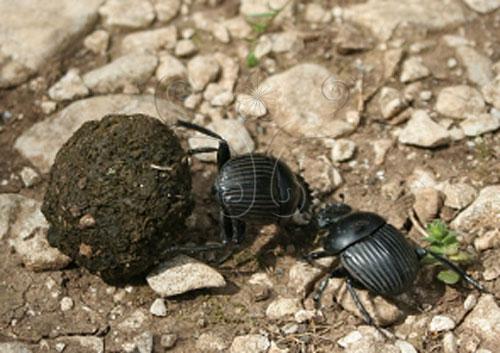 推糞中的糞金龜碰到前來搶糞球的另一隻糞金龜(Rafael Brix攝)
