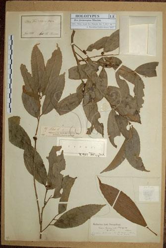 冬青科的糊樗(Ilex formosana)其模式標本存在於科馬諾夫植物研究所植物標本館。