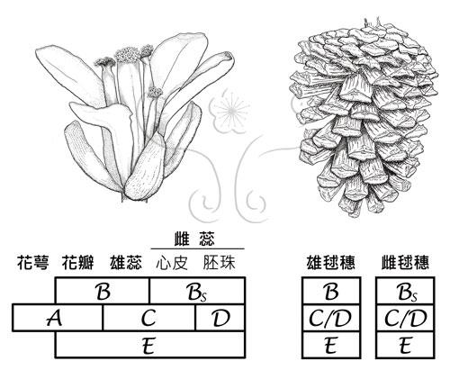被子植物開花基因(左)及裸子植物毬穗基因(右)