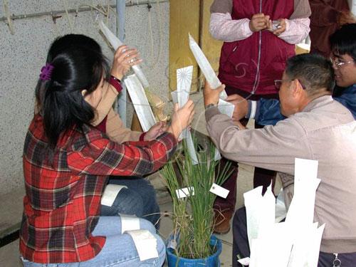 水稻授粉完畢,進行套袋保護。