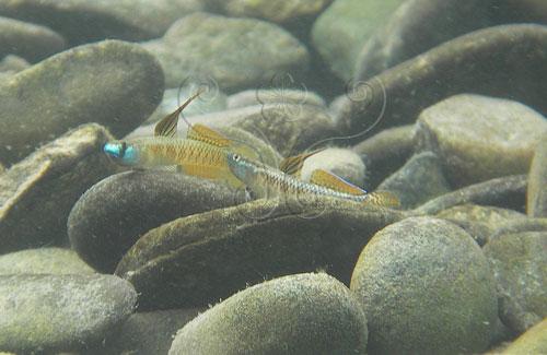 正在展示體色的鰕虎雄魚。