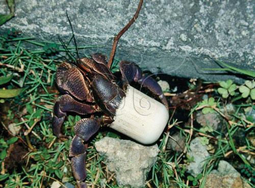海貝越來越少,寄居蟹只好用洗髮精的蓋子來當殼。