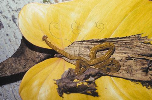 森林中40公分長的渦蟲。