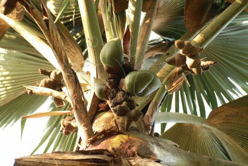 據說海椰子的果實在樹上要8年之久會成熟、掉落。