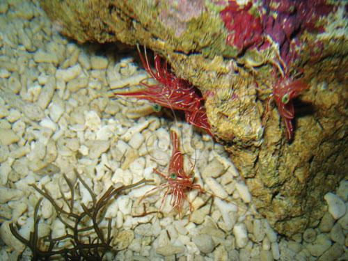德斑活額蝦是常見的清潔蝦。