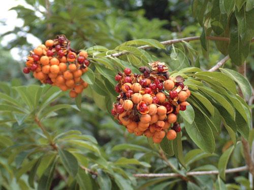 臺灣海桐的果實給人美麗的黃金印象。