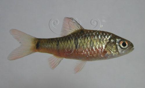 體色鮮豔的史尼氏小鲃雄魚