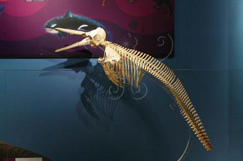 鯨目(海豚)的全身骨架(前肢鰭狀、後肢退化)。