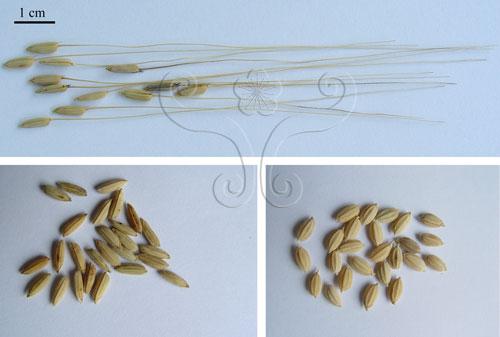 不同稻穀的形態。普通野生稻,具有長芒(上),稉稻(右下),秈稻(左下)。