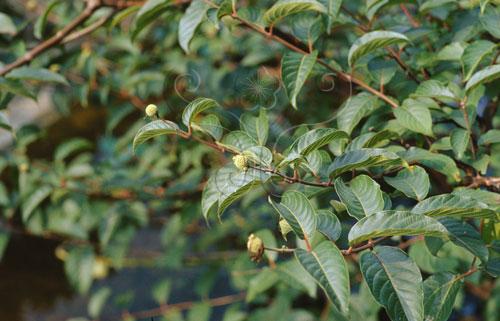 健壯的風箱樹枝葉繁茂,葉子像極了芭櫟。