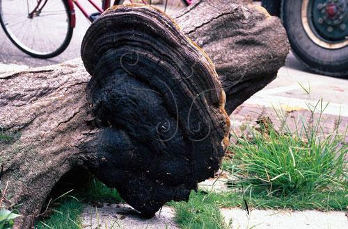 厚皮纖孔菌