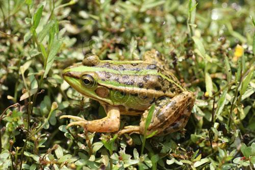胖嘟嘟的金線蛙。