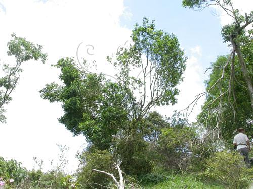 原本碩大族群的武威山烏皮茶,到2003年僅剩下兩株老樹孤零零地站在山脊上。