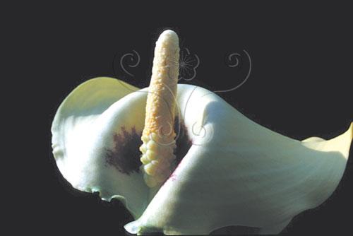 海芋品種King Gold的肉穗花序。