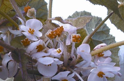 花團錦簇的大香秋海棠(B. handelii)。