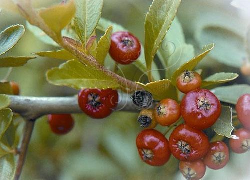 火棘,屬於硬刺灌木,喀斯特地形的代表種類。