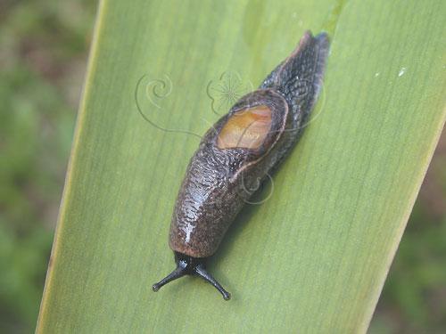 馬丁鱉甲蝸牛Parmarion martensi (Simroth,1893)。殼已經退化成淡黃色的透明薄片,如指甲般大小,位於軟體背部的中央處,大部分被外套膜所覆蓋,略有光澤。
