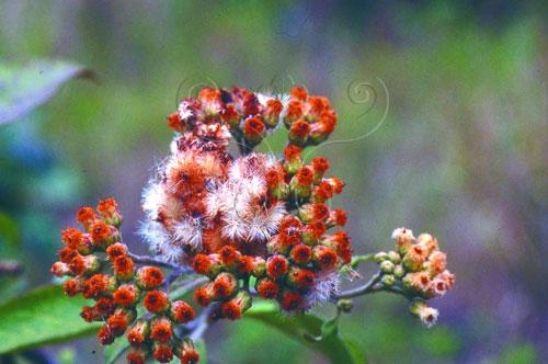美洲闊苞菊大量且會飛的種子是菊科植物成為入侵種的利器。