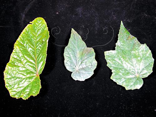 圓果秋海棠(左)、水鴨腳(右)和台北秋海棠(中)的葉形比較。