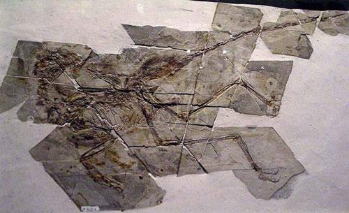 千禧中國鳥龍化石(Laikayiu攝)。