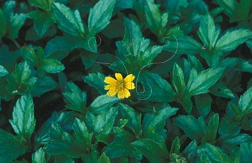不論在沙地或岩屑地都能甘之如飴的南美蟛蜞菊,是台灣運用廣泛的護坡植物。