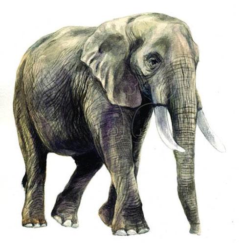 非洲象的大耳朵。