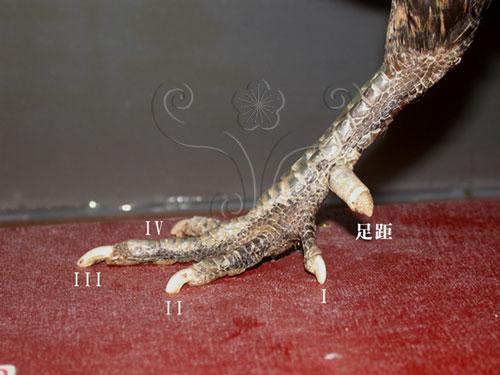 雞的後肢外部型態。