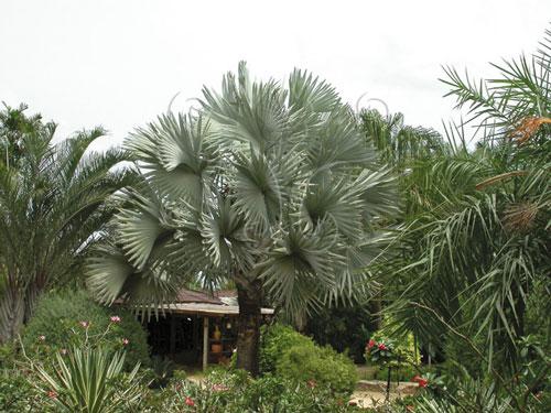 原產於非洲馬達加斯加島內的霸王棕。