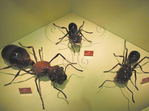 螞蟻的群體內有一個或一個以上的蟻后(左)、許多工蟻(中)、雄蟻及兵蟻(右)(本館「入侵紅火蟻」特展之展示模型)。