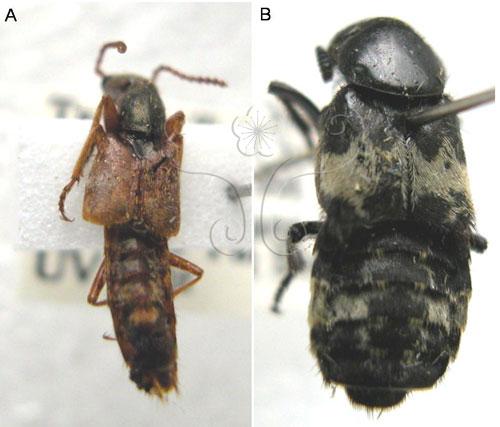 隱翅蟲標本。