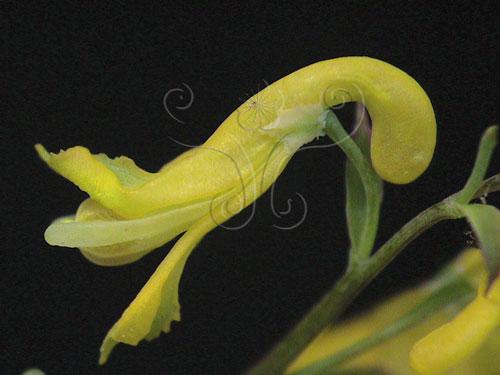 黃菫花的特寫。