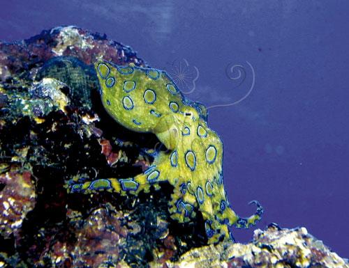 可愛的新月豹斑章魚正在珊瑚礁上爬行。