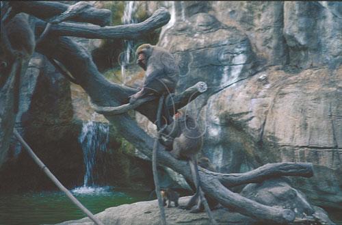 動物園裡群居的台灣獼猴。