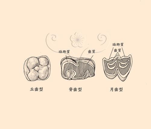 俯視哺乳動物臼齒咀嚼面所呈現的不同型態。