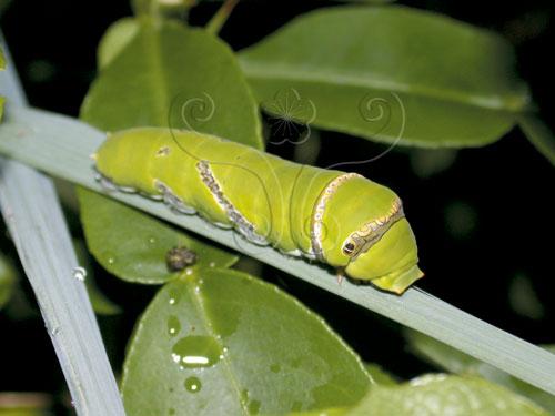 終齡幼蟲具有綠色的保護色。