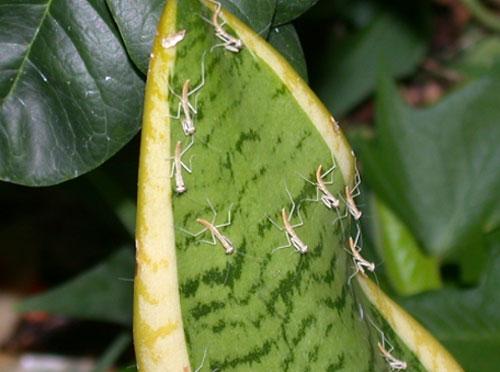 剛孵出的小螳螂