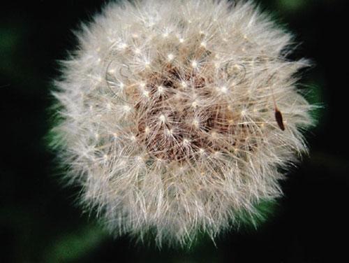 蒲公英的瘦果上似螺旋槳的毛狀物,像駕控降落傘空飄。