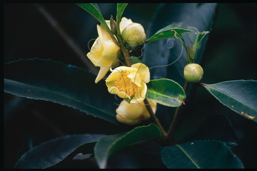 武威山茶剛開放的花及花苞。