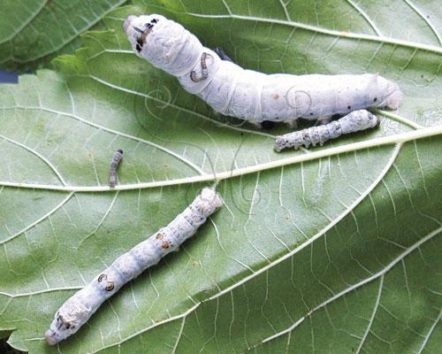 家蠶在短暫的二十多天幼蟲期體重增加一萬多倍。